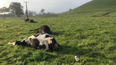 Cows killed by falling power lines on Northland farm