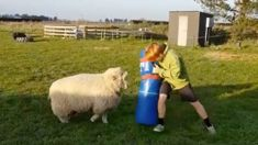 Video of young rugby player training with sheep goes viral