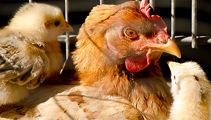SPCA urges Aucklanders to adopt farm animals
