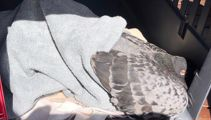 Flock of dead pigeons worries Auckland residents