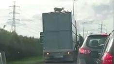 Oh sheep! Stuck sheep causes traffic bed-lamb