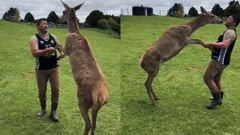 Tauranga man Quentin Brears has taught his friend's pet deer how to walk on it's hind legs, and dance. (Source: NZ Herald / Quentin Brears)