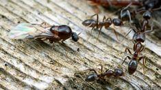 Ruud Kleinpaste: Gardening: Argentine Ants