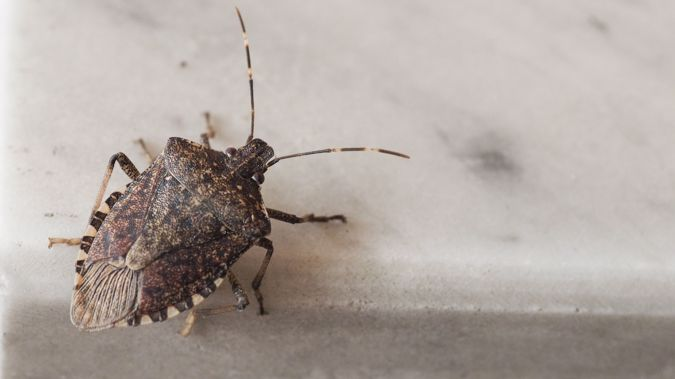The stink bug could damage our GDP by $3.6 billion if it made it into our country. (Photo / Getty)