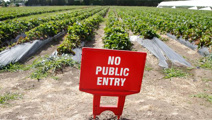 Thefts force farm to close pick-your-own strawberry service