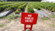 Thefts force Whanganui berry farm to close pick-your-own strawberry service