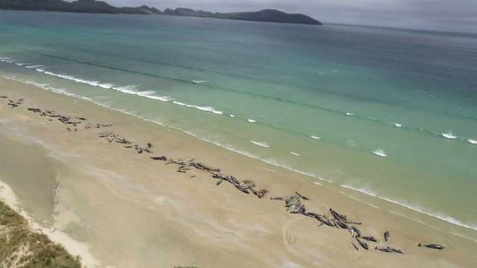 As many as 145 pilot whales have died after a mass stranding in Mason Bay on Stewart Island. Photo / Department of Conservation.