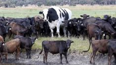 Knickers the big cow causes a stir online