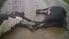 Four cows killed after lightning strike at Hamilton farm
