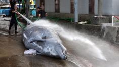 Japan considering return to commercial whaling