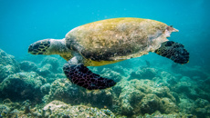 Turtles at risk of dying out be 'feminisation'
