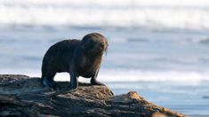 DOC confirms decapitation of pup fur seals not caused by humans