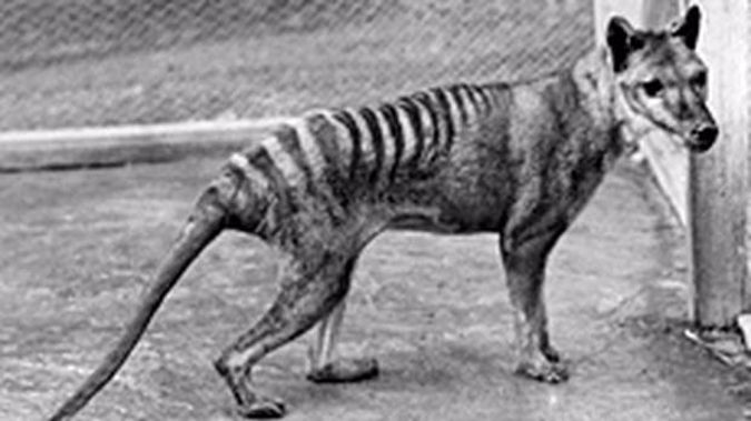 The thylacine, or Tasmanian tiger, was Australia's top land predator until the dingo arrived about 3500 years ago. Photo / Getty