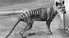 Skin discovered in NZ may help resurrect Tasmanian tiger