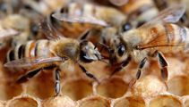 'Plain stupid': Manuka honey explosion leaves bees 'starving'