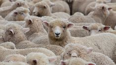 New Zealand's sheep-to-people ratio drops again