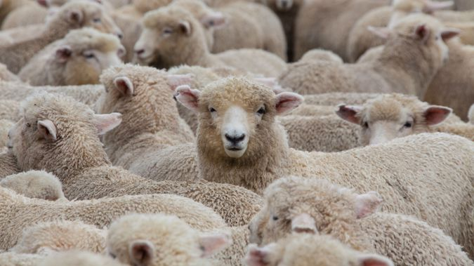 There are now only 5.6 sheep per person. (Photo / Getty)