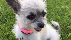 Aucklander distraught after Lucky the chihuahua snatched from dairy