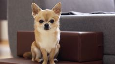 Casey Walters: Dog rescue centre preparing for influx of chihuahuas