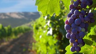 Domestic market keeps NZ wine industry in healthy condition