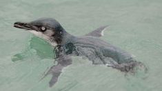 Penguin rescued from Avon River