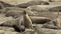 Elephant seals take over US beach abandoned during shutdown