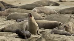 The seals are here to stay, and there's nothing the rangers can do to move them. (Photo / AP)