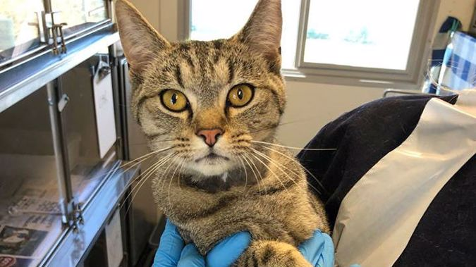 Thomas the cat thankfully survived the encounter. (Photo / SPCA Facebook)