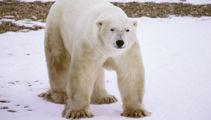 'Mass invasion' of polar bears terrorises Russian town