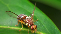 Fruit and veggie growers on alert over Auckland fruit fly scare