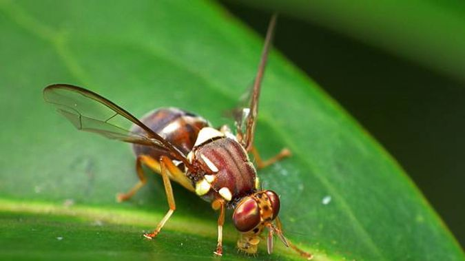 A fie photo of a Queensland fruit fly. (Photo / Ministry for Primary Industries)