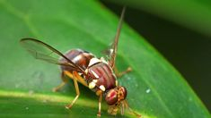 Second Queensland fruit fly found on Auckland's North Shore