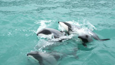 More Hector's dolphin deaths prompts call for trawling ban