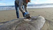 Rare sea creature washes ashore in California