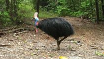 Cassowary kills US owner after he fell over