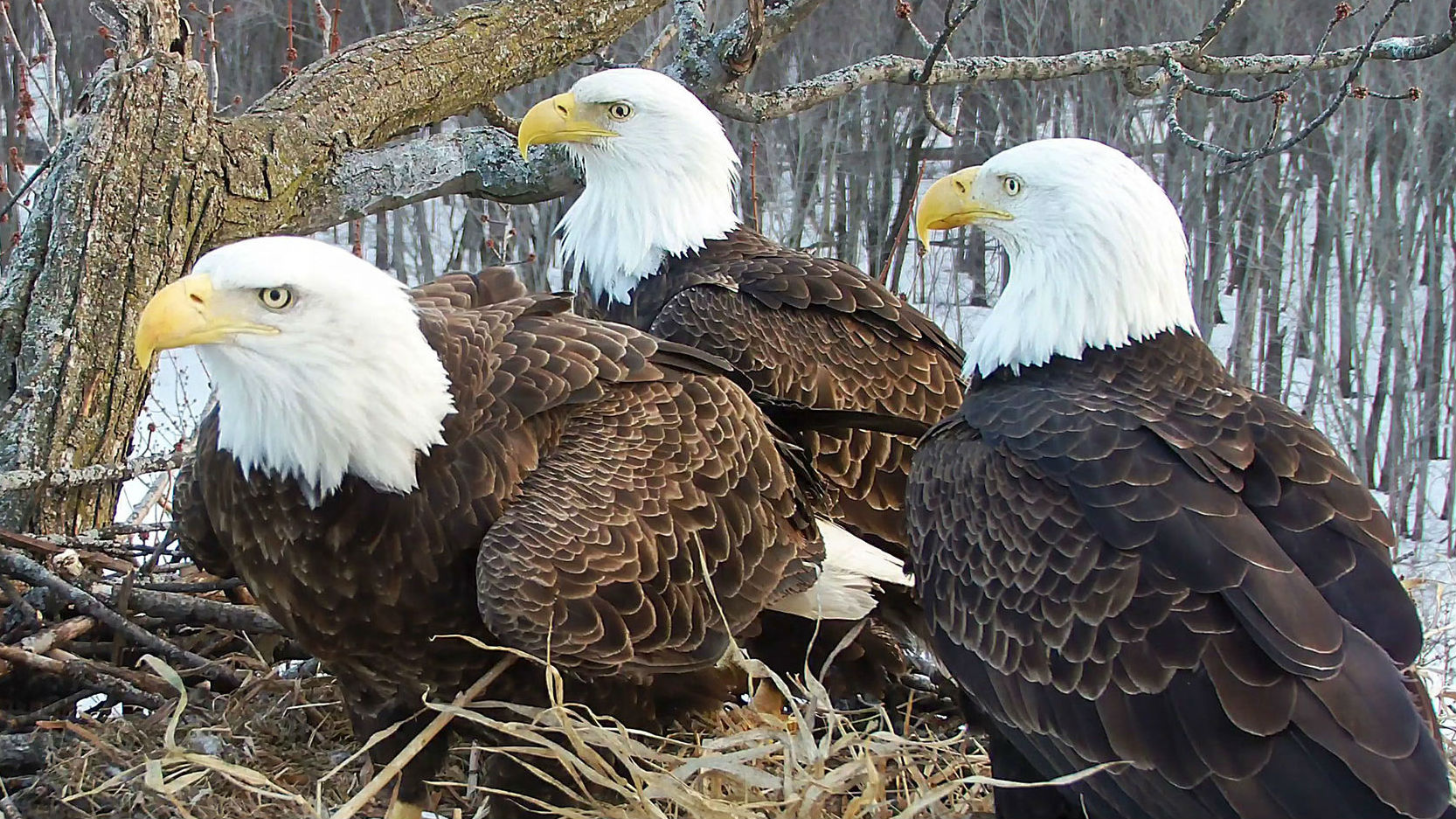 Starr (left), Valor II and Valor I sit over eggs at their Illinois nest. (Photo / Stewards of the Upper Mississippi River Refuge via National Audubon Society)