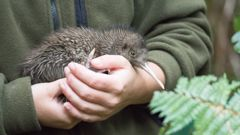 Our national icon, the kiwi, is among 4000 species considered threatened or at risk. Photo / Getty Images.