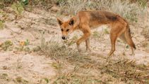 Hero dad fights off dingoes to save 14-month-old son