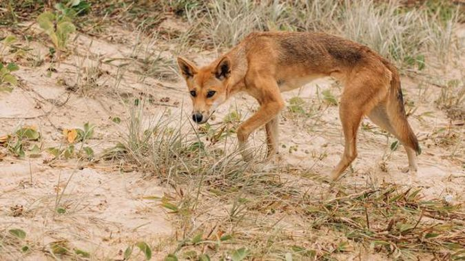 A dingo on a beach of Fraser Island in search of food. Photo / Getty