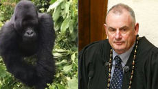 Watch: Trevor Mallard 'put on his backside' by Rwandan gorilla