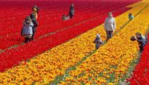 Selfie-hungry tourists criticised for ruining tulip fields in the Netherlands