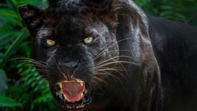 No Doubt It Was A Puma Marlborough Woman S Encounter With A Big Cat