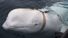 Harness-wearing whale believed to have been trained by Russian military