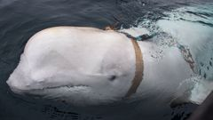 The whale was found by fisherman in Norway. (Photo / CNN)