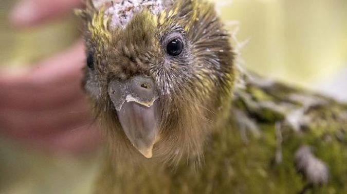 Kakapo chick Espy-1B had brain surgery to correct a deformity. (Photo / Supplied)