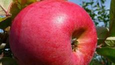 Ruud Kleinpaste: Why Monty's Surprise is a very versatile apple