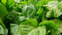 Malcolm Rand: In defence of silverbeet