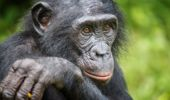 Researchers have found bonobo mothers protect their sons during mating. (Photo / Getty)