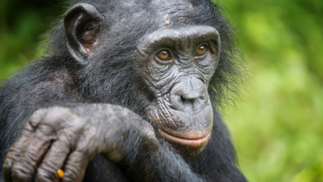 Study finds bonobo mothers are very protective of their sons during mating