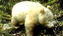 Albino panda spotted in the wild for the first time